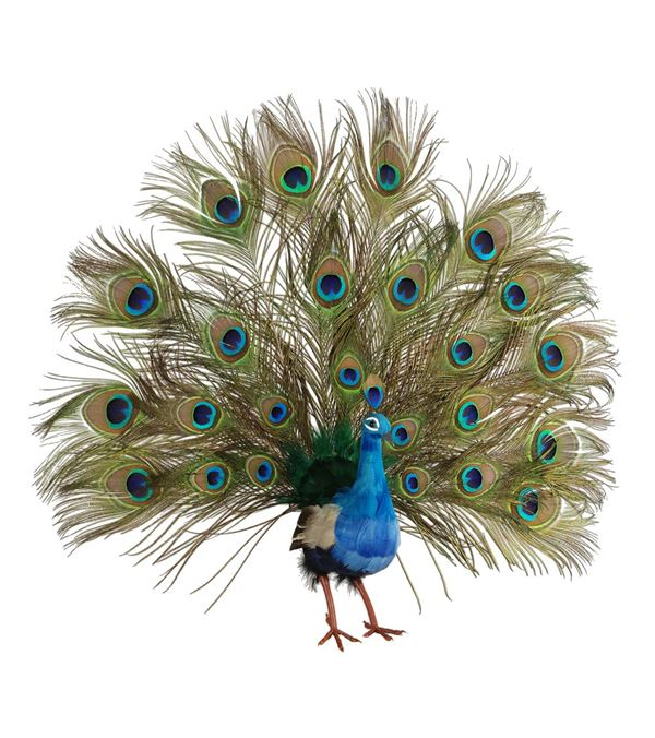 Open Tail Peacock - 22 Inch / 60cm - Natural