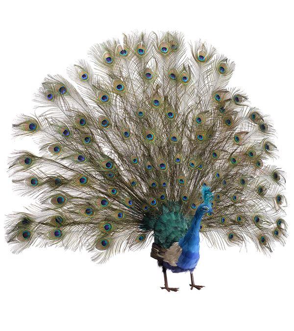 Large Peacock - Open Tail - 125cm X 145cm - Blue