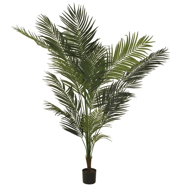 Areca Palm - 210cm Tall - Green - Sold Individually
