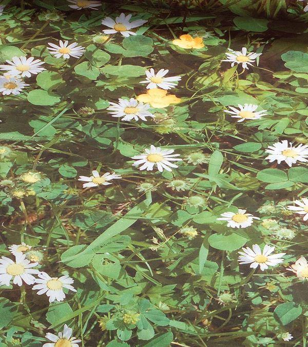 Daisy Photoprint Fabric - 150cm - Green - Per Linear Metre